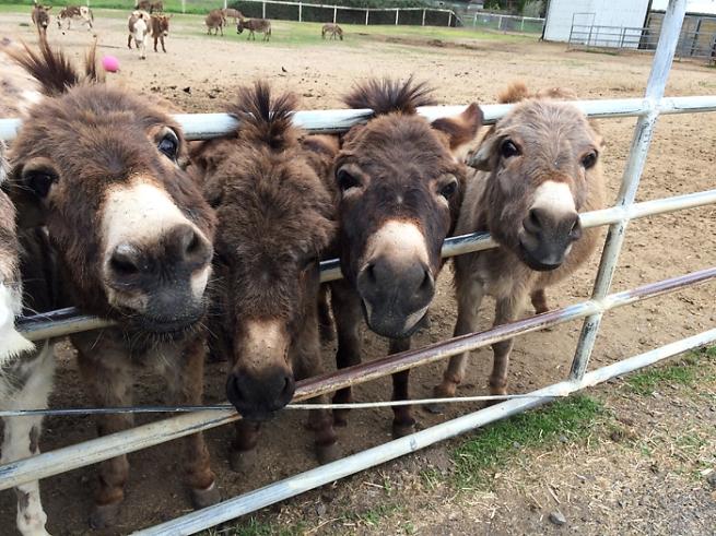 honkeydonkeys