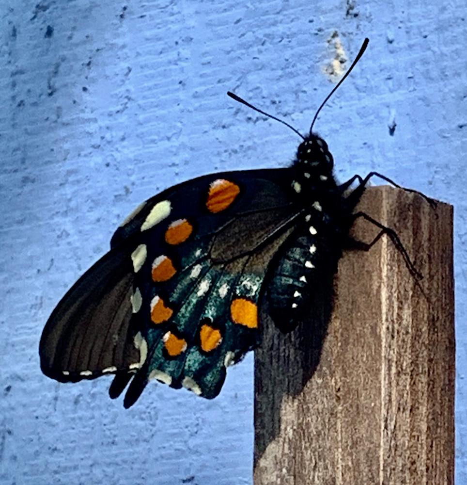 brandnewbutterfly