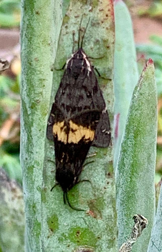 mothsex